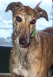 Toy is a 3 year old female greyhound.